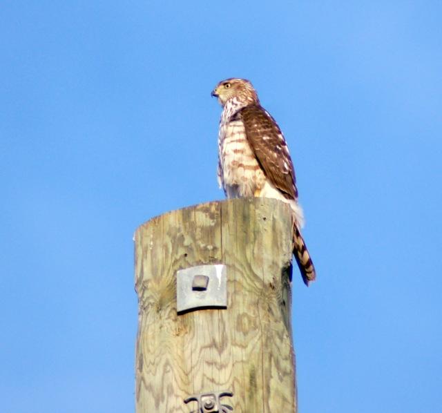 Hawk HD